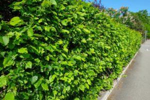 Beuk bij Haagplanten Heijnen