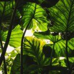 Een vijg op stam voor je eigen mini tropische boomgaard
